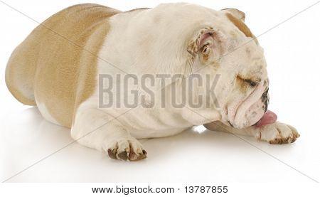 Dog Licking Paw