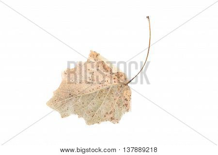 Dry leaf isolated on a white, close up