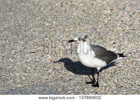 Seagull standing in seashells on the Beach