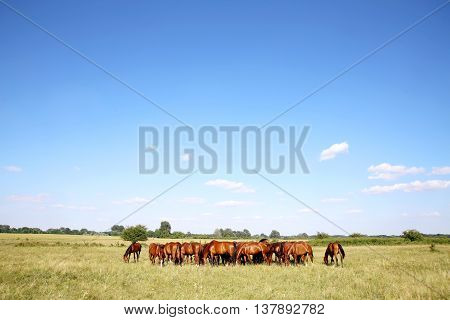 Young chestnut foals and mares grazing peaceful at typical hungarian countryside puszta summertime. Thoroughbred gidran foals and mares grazing peaceful together on summer meadow