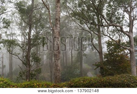 Mount Lofty Botanic Garden surrounding the native gum trees with fog. Situated in the Adelaide Hills Crafers South Australia. poster