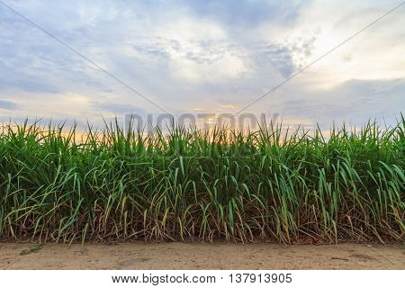 Sugarcane with cloud storm on the sky in evening time