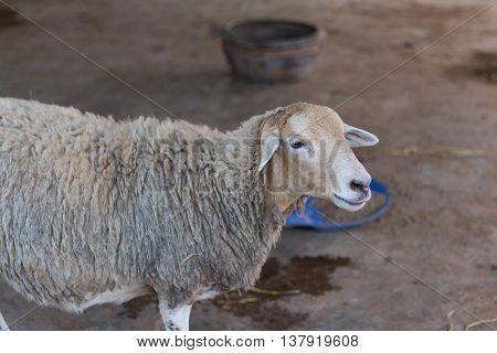 Sheep. Sheep in the cage. Sheep in the farm. Sheep farming outdoor.