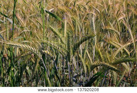 Rye(Secale cereale) ears closeup with CornflowersPodlasie RegionPolandEurope