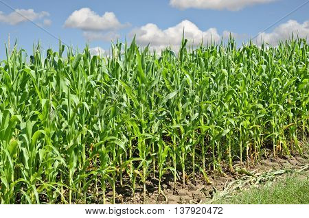 Young cornfield. Agriculture and farming in eastern Europe