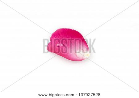 Pink Rose Petels isolated on White background
