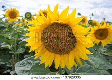 sunflower nature farming landscape sky clouds yellow