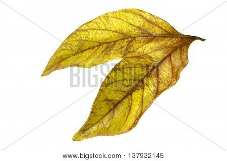 Two Conjoined Twin Autumn Colored Ieaves Isolated On White