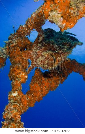 Orange Variation Giant Frogfish On Artificial Reef