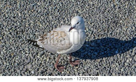 Close-up of a seagull bird on gravel
