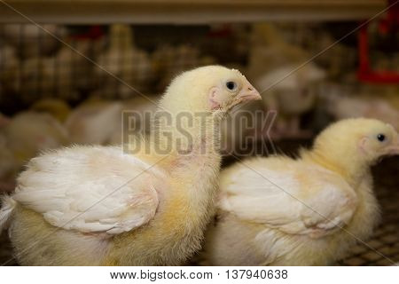 Young chickens in a cage on a chicken farm
