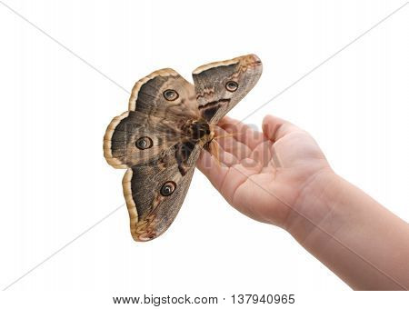 Saturnia pyri, the Giant Peacock Moth, is a Saturniid moth which is native to Europe on hand