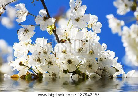 Cherry blossoms with white flowers, sun and blue sky