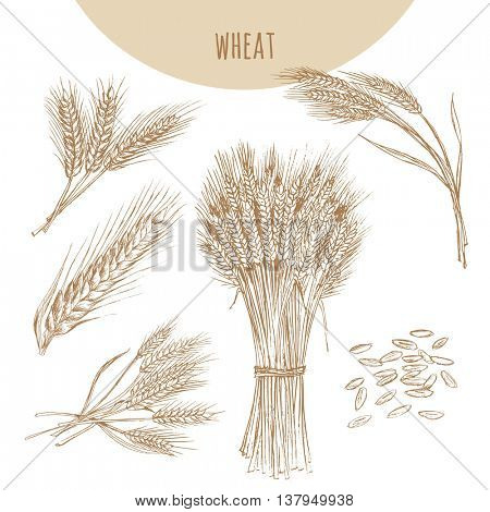Wheat ears, sheaf and grains. Cereals sketch pencil hand drawn vector illustration. Bakery element design.