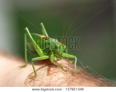 Green grasshopper on a hand close up. Artistic photo of grasshopper