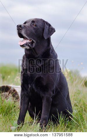 Black Labrador sitting in a summer field near the stump.
