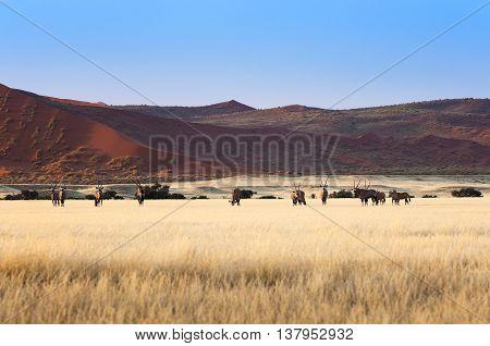 Herd of Gemsbok in Sossusvlei Namibia, Africa