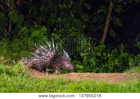 Malayan porcupine (Hystrix brachyura) in nature at night time poster
