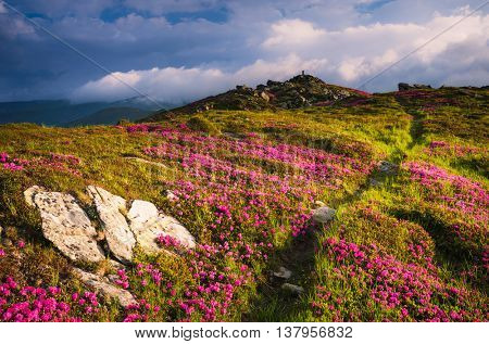 Summer landscape on a sunny day. Hiking trail in the mountains. Glade with pink flowers. Blooming Rhododendron on the slopes. Beautiful clouds in the sky. Carpathian, Ukraine, Europe