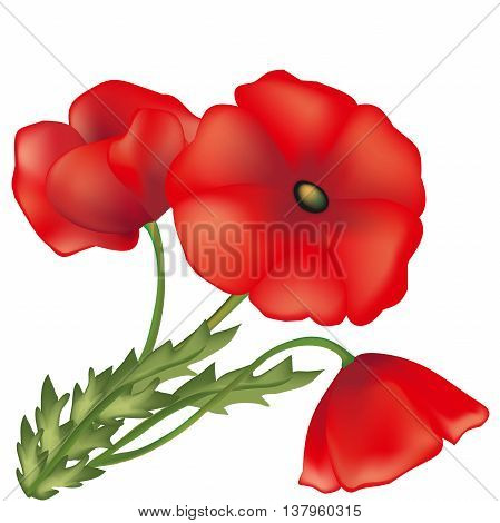 poppies of red color, illustration of a garden plant, green stalk with leaves, a flower with scarlet petals, the vector nature