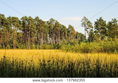 Pine Forest  - Forest Clearing In Ukraine