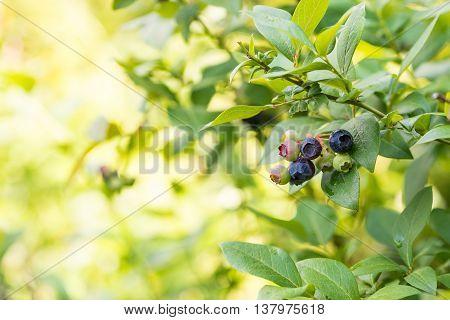 Ripe Blueberries On A Bush.