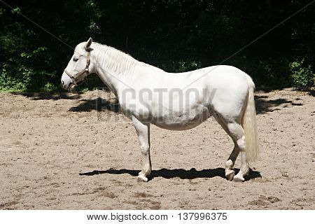 White Lipizzan Horse (Equus caballus) from the profile