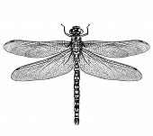 engraved, drawn,  illustration, insect, dragonfly, damselfly, predator, water poster