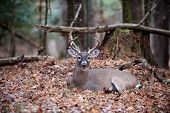 A large whitetail deer buck bedded down and resting in the forest poster