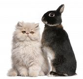 Young Persian cat and rabbit in front of white background