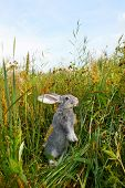Image of cautious rabbit standing in green grass in summer poster