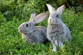 Image of two grey rabbits in green grass outdoor poster