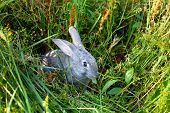 Image of cautious grey rabbit in green grass in summer poster