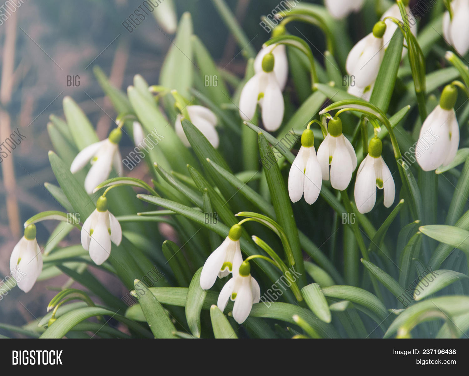 Snowdrop Flowers Green Image Photo Free Trial Bigstock