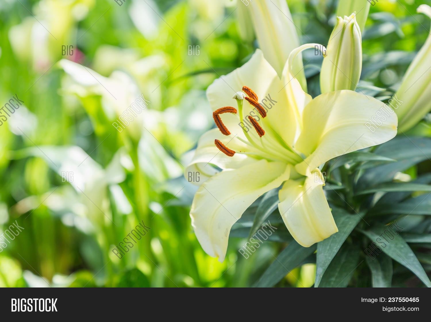 Yellow Lily Flower Image Photo Free Trial Bigstock
