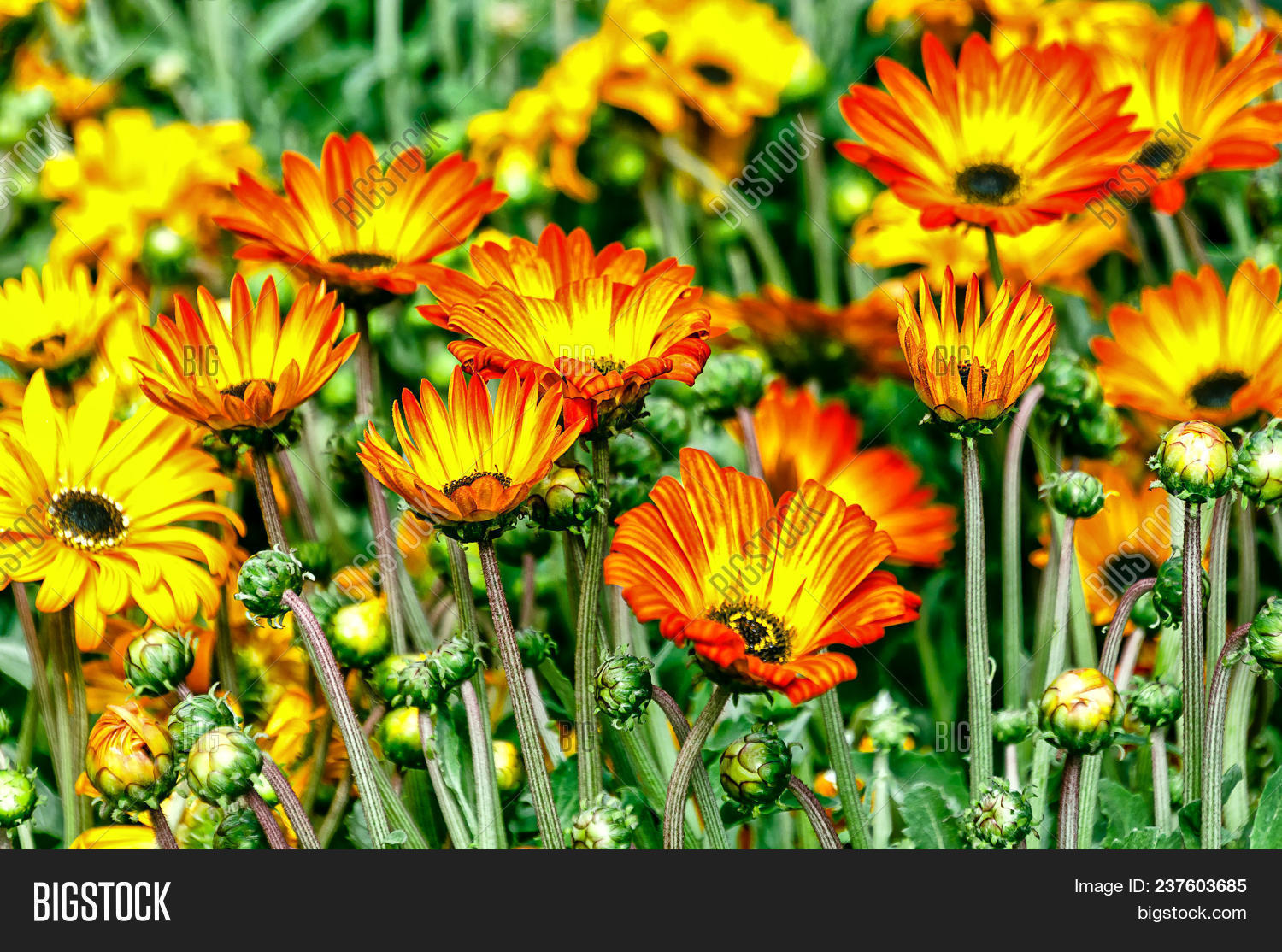 African Daisies Image Photo Free Trial Bigstock