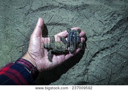 man with wooden bowl in hands take newborn turtles on handbrede, close up hands with turtles turtle sanctuary hatchery located on the beach. little baby turtles in the hand of the night poster