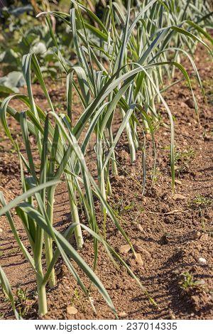 Spring Garlic Is Growing In The Vegetable Garden. Growing Garlic In A Plant. Farm Vegetable. Small S