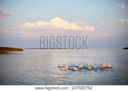 Village Geese Flock Bathing In The Calm Water In Lake, Creek Or Pond. Peacefull Landscape With Cloud