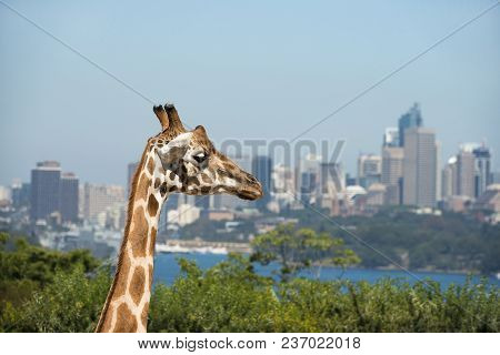 Giraffe At Taronga Zoo With A View Of The Sydney Harbour And Sydney Cbd In The Background