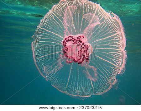 Poisonous Jellyfish In The Gulf Of Eilat, Red Sea, Israel