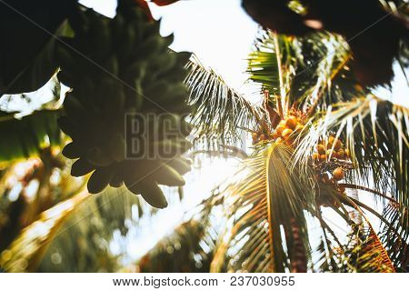 True Tilt-shift View From Bottom: An Unripe Huge Hand Of Bananas In The Foreground And Coconut Palm