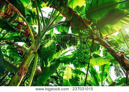 Wide-angle View From Bottom: Banana Garden With Many Palms With Giant Green Leaves And A Huge Unripe