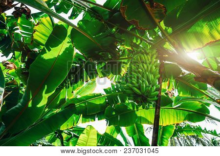 View From Bottom Of The Banana Garden With Plenty Of Palms, Giant Green Leaves, And A Huge Unripe Ha