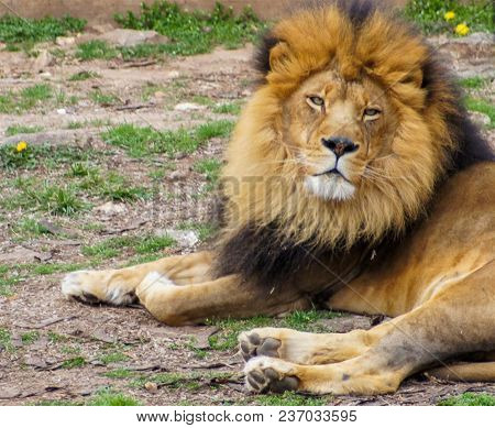 Large Wild Cat, Lion, Large Gregarious Predatory Feline Mammal