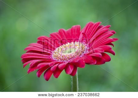 Transvaal Daisy Red Flower With Blur Image Of Nature Green Color.