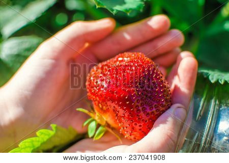 The Big Strawberry In The Female Hands