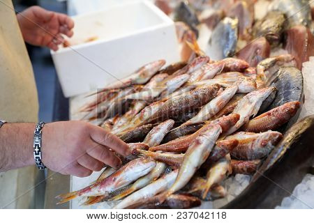 The Seller Is Laying Out The Red Striped Mullet Fishes Or Mullus Surmuletus On Ice For Sale In The G