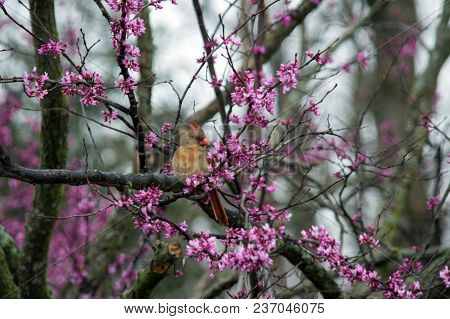 A Female Cardinal Perches Beautifuly Amongst Pretty Purple Blooms In A Red Bud Tree With Bokeh Backg