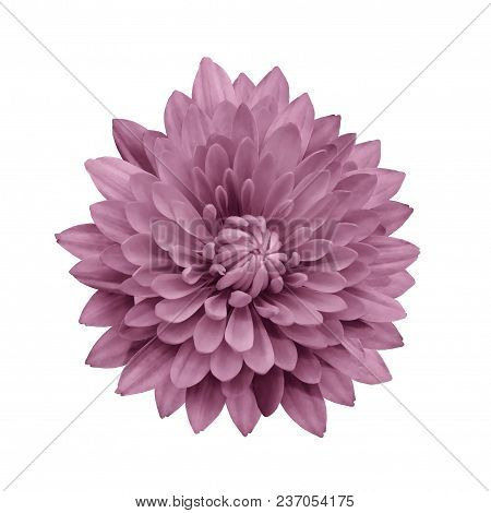 Pink Flower Dahlia  On A White Isolated Background With Clipping Path.   Closeup.  No Shadows.  For